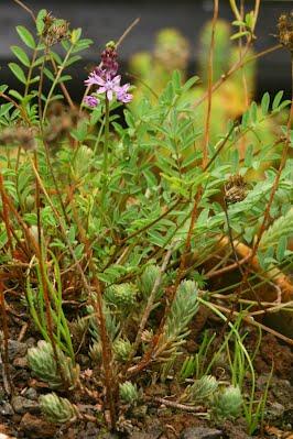 Scillia automnalis (c) Verté Libre